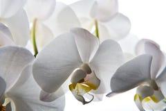 Fondo blanco aislado flor de la orquídea Foto de archivo libre de regalías
