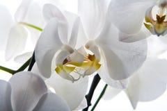 Fondo blanco aislado flor de la orquídea Fotografía de archivo