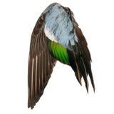 Fondo blanco azulverde gris del pato salvaje del pájaro del ala del marrón real del ángel fotografía de archivo