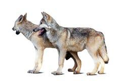 Fondo blanco de dos lobos con la sombra Foto de archivo libre de regalías
