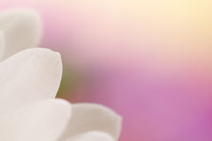 Fondo blanco de la flor del pétalo. Imagen de archivo