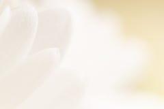 Fondo blanco de la flor del pétalo. Foto de archivo