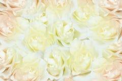 Fondo blanco de las rosas Fotografía de archivo libre de regalías