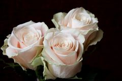 Fondo blanco de las rosas Naturaleza, flores, ramo Imágenes de archivo libres de regalías