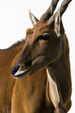 Fondo blanco del alcina del Antilope de Eland aislado Foto de archivo libre de regalías