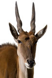 Fondo blanco del alcina del Antilope de Eland aislado Imagen de archivo libre de regalías