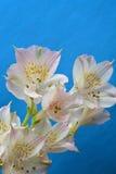 Fondo blanco del azul de la flor del flor Imagen de archivo libre de regalías