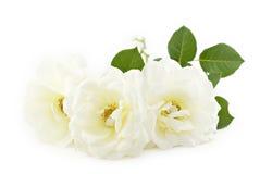 Fondo blanco del blanco de las rosas Imagen de archivo