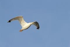 Fondo blanco del cielo del vuelo de la gaviota Foto de archivo