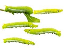 Fondo blanco del olate de Caterpillar con la trayectoria de recortes Fotos de archivo