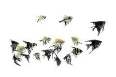 Fondo blanco del petróleo de Pterophyllum del angelote foto de archivo libre de regalías