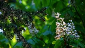 Fondo blanco del viento del árbol de abeto de la flor de la castaña nadie cantidad del hd metrajes