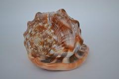 Fondo, blanco, en un fondo blanco, concha marina Foto de archivo libre de regalías