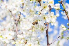 Fondo blanco hermoso de la floración de la cereza con la abeja en la flor Imagen de archivo