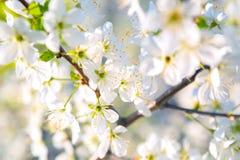 Fondo blanco hermoso de la floración de la cereza con la abeja en la flor Imagen de archivo libre de regalías