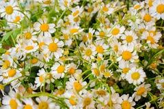 Fondo blanco y amarillo de la flor fresca de la manzanilla Fotos de archivo