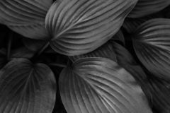 Fondo blanco y negro de hojas tropicales fotos de archivo