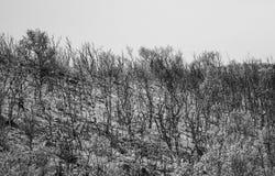 Fondo blanco y negro de los árboles de abedul en Noruega Imagen de archivo