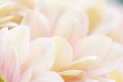 Fondo blanco y rosado blando hermoso inusual de las flores Foto de archivo