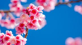 Fondo blu Angkhang Chiang Mai Thailand di Sakura fotografie stock libere da diritti