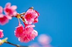Fondo blu Angkhang Chiang Mai Thailand di Sakura fotografie stock
