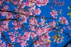 Fondo blu Angkhang Chiang Mai Thailand di Sakura fotografia stock libera da diritti