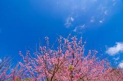 Fondo blu Angkhang Chiang Mai Thailand di Sakura immagine stock libera da diritti