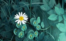 Fondo blu di estate della margherita e dell'erba di fantasia fotografia stock