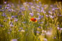 Fondo borroso: campo encendido por la sol con mucho las flores foto de archivo libre de regalías