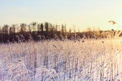 Fondo borroso de la caña en luz de la puesta del sol Imagen de archivo libre de regalías