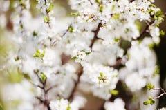 Fondo borroso de la primavera de flores En el defocus del viejo fotos de archivo