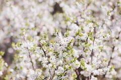 Fondo borroso de la primavera de flores En el defocus del viejo imagen de archivo libre de regalías