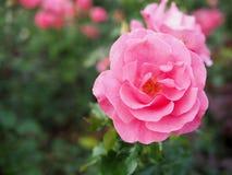 Fondo borroso de la rosa del rosa, fondo de la rosa del rosa Imagen de archivo libre de regalías