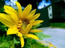 Fondo borroso del bokeh amarillo del jardín del girasol imagen de archivo libre de regalías