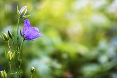Fondo borroso del bokeh de la flor de Bell Imágenes de archivo libres de regalías