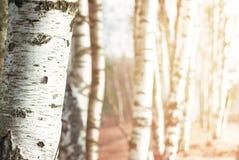 Fondo borroso naturaleza con el árbol de abedul Fotos de archivo libres de regalías