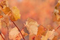 Fondo borroso naturaleza Hojas de oto?o de uvas Profundidad del campo baja Imagen entonada anaranjada Copie el espacio Fotograf?a imágenes de archivo libres de regalías