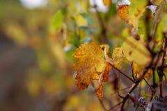 Fondo borroso naturaleza Profundidad del campo baja Copie el espacio Hojas de oto?o de uvas foto de archivo libre de regalías