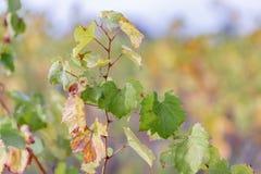 Fondo borroso naturaleza Profundidad del campo baja Hojas de oto?o de uvas Vid en la caída Vi?edo del oto?o fotos de archivo libres de regalías