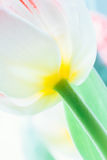 Fondo borroso tulipán del primer Foto de archivo libre de regalías