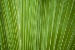 Fondo botánico de la palma tropical de la hoja de la foto Cierre para arriba fotografía de archivo