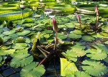Fondo botanico con differenti specie di pianta acquatica Ninfee, Victoria Amazonica, giacinto d'acqua Immagine Stock Libera da Diritti