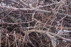 Fondo branches.brushwood Fotografia Stock Libera da Diritti