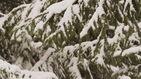 Fondo brillante del invierno con las ramas nevosas del abeto almacen de video