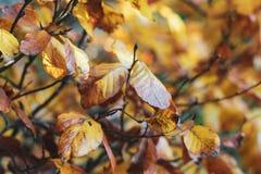 Fondo brillante del otoño con las hojas anaranjadas del olmo foto de archivo libre de regalías