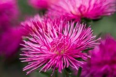 Fondo brillante del tiempo del otoño de las flores de los asteres Foto de archivo libre de regalías