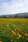 Fondo cósmico anaranjado del campo de flores Imagenes de archivo