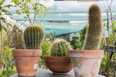 Fondo, cactus, naturaleza, arcilla, cactus, pote, flor, planta, succulents, potes, jardín, verde, succulent, blanco, natural, cre Foto de archivo libre de regalías