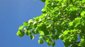 Fondo claro de cielo azul de la naturaleza con el primer follaje fresco de la primavera de árboles como marco natural Im?genes de almacen de video