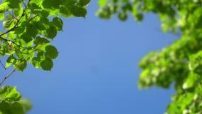 Fondo claro de cielo azul de la naturaleza con el primer follaje fresco de la primavera de árboles como marco natural Im?genes de almacen de metraje de vídeo